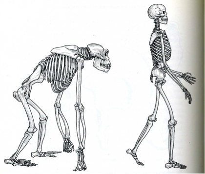 move like a primate? - treatment clues | nanaimo chiropractor, Skeleton