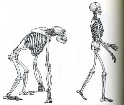 Move like a Primate - skeleton