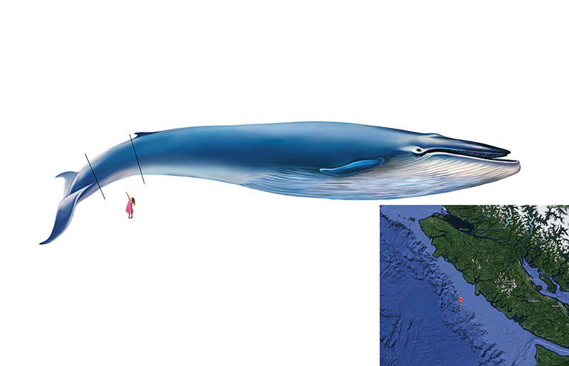 Blue whale - Nanaimo Chiropractor